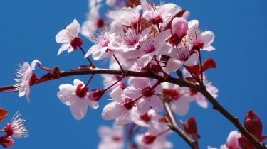 almond-blossom-5378_1920